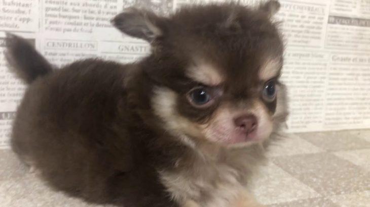 ペットショップ 犬の家 加古川店 「チワワ」「102260」