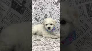 ペットショップ 犬の家 中津川店 「ビション♂」「102337」