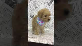 ペットショップ 犬の家 中津川店 「ダップー♂」「102351」