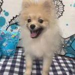 ペットショップ 犬の家 イオン上田店 「ポメラニアン」「問い合わせ番号98496」