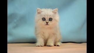 ペルシャ NO.190611 ペットショップ『ヒラマツケンネル』の子猫