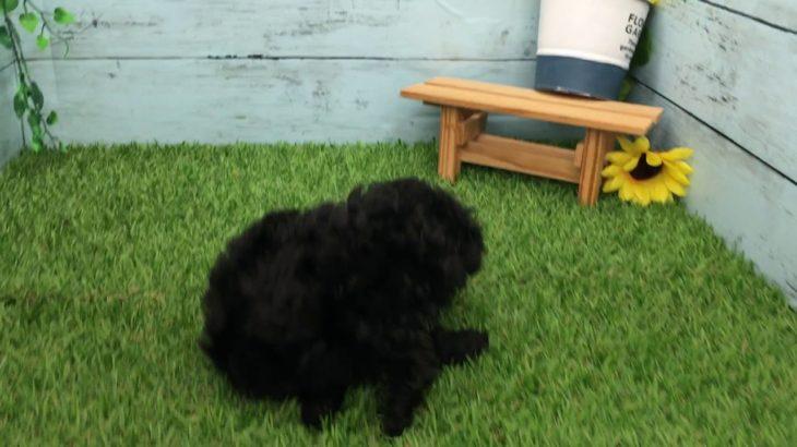 「ペットショップ犬の家長浜店」「マルプー」「102321」