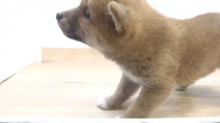 ペットプラザフレンディ 柴犬 r1-07-134