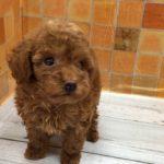 ペットショップ 犬の家 イオン上田店 「トイ・プードル」「102784」