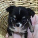 ペットショップ 犬の家 藤枝店 「品種名チワワ♀」「問い合わせ番号103368」