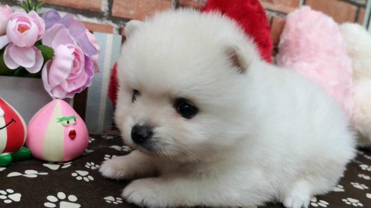 ペットショップ 犬の家 稲毛店 「ポメラニアン♂」「103380」
