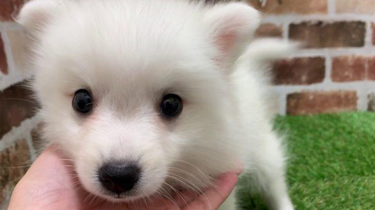 ペットショップ犬の家京都精華店「日本スピッツ」「問い合わせ番号103507」
