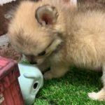 ペットショップ犬の家京都精華店「チワワ」「問い合わせ番号103525」