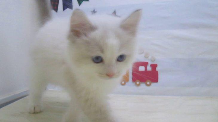 ペットショップ犬の家&猫の里マークイズ静岡店「103615」「ラグドール」