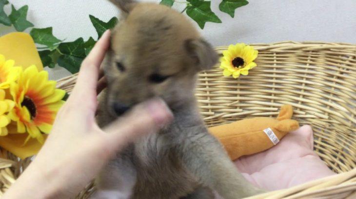 ペットショップ 犬の家 藤枝店 「品種名柴犬♂」「問い合わせ番号103664」