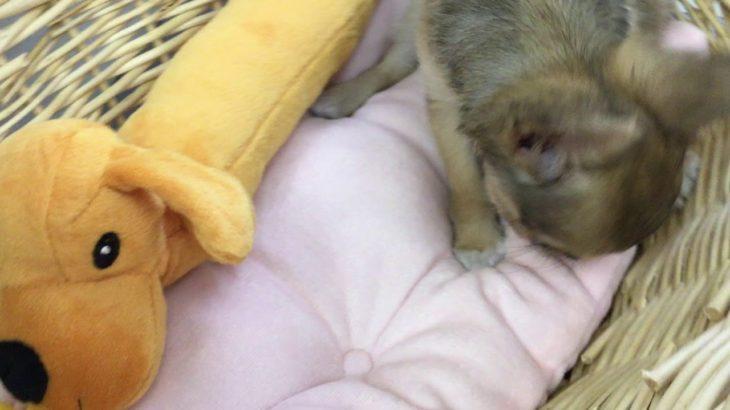 ペットショップ 犬の家 藤枝店 「品種名チワワ♂」「問い合わせ番号103751」