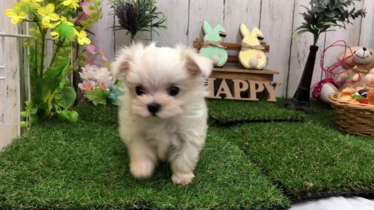 ペットショップ犬の家倉敷店 103773 マル♀