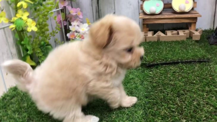 ペットショップ犬の家倉敷店 103781 マルプー♀