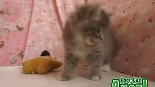 1907029 【ペットショップ エンゼル】お薦めの子犬・子猫