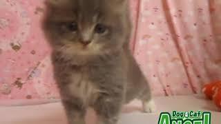 1907031 【ペットショップ エンゼル】お薦めの子犬・子猫