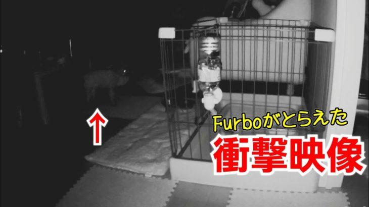 Furboが捕らえたマーキング衝撃映像!悲しすぎるおもらし【トイプードルのEnen君♪】