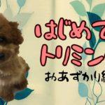 【仔犬のトイプードル】トリミング大好きになるために。[兵庫ペット医療センター トリミング 尼崎 犬動画 ]Happy dog glooming