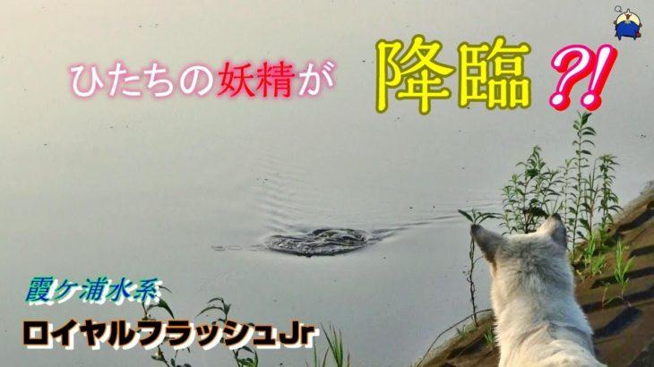 【衝撃映像?】妖精が舞い降りた!霞ヶ浦水系オカッパリ、ロイヤルフラッシュJrでドンッ♪