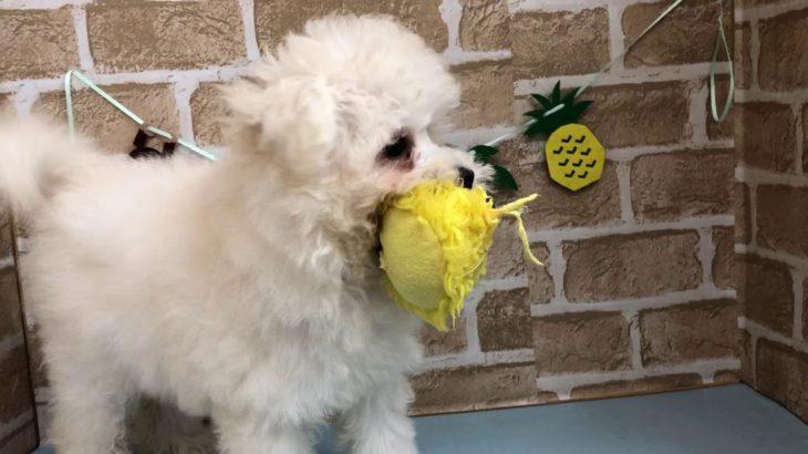 【No.102239ハーフ犬(マルチーズ×トイプードル)♀】ペットショップ犬の家猫の里碧南店