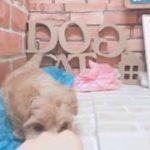 ペットショップ犬の家*京都 ハーフ犬