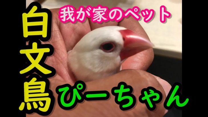 我が家のペット白文鳥のぴーちゃん!!初登場!!