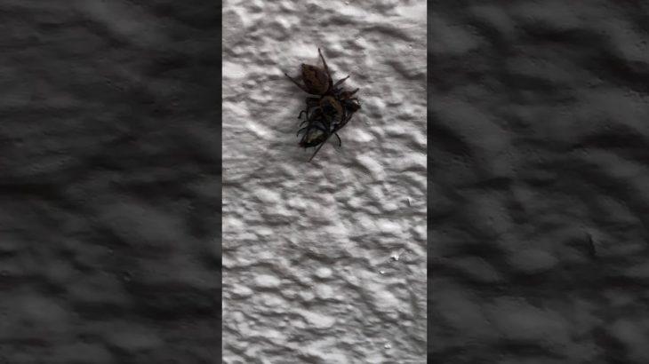 [衝撃映像]ぴょんぴょんグモのハエ捕食シーン