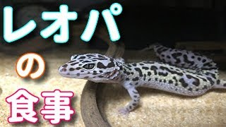ヒョウモントカゲモドキ/レオパの飼い方食事編【激かわペット】