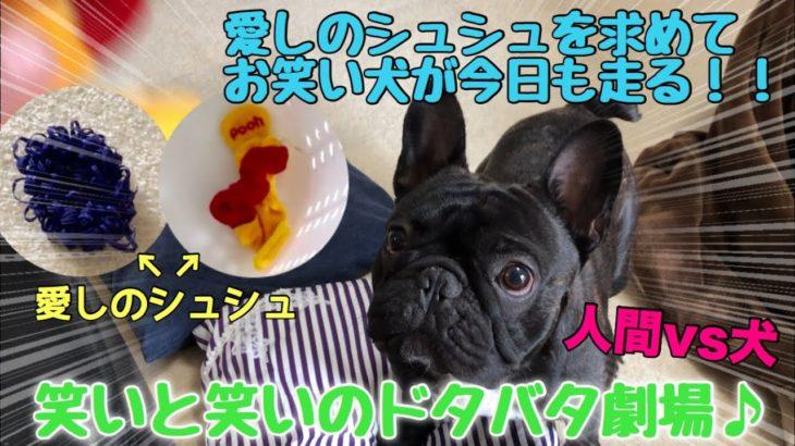 シュシュを求めて頑張るお笑い犬vs人間【手術前映像】