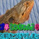 我が家のペット紹介!フトアゴヒゲトカゲ【第1弾】