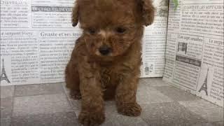 ペットショップ 犬の家 加古川店「トイプードル」「103801」