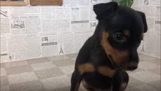 ペットショップ 犬の家 加古川店「ミニチュアピンシャー」「103811」