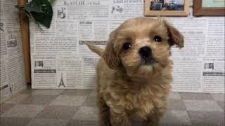 ペットショップ 犬の家 加古川店「ハーフ」「103814」