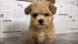 ペットショップ 犬の家 加古川店「ハーフ」「103815」