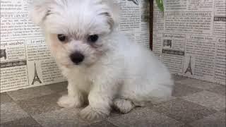 ペットショップ 犬の家 加古川店「マルチーズ」「103824」
