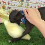 ペットショップ 犬の家 神戸店 「イタリアン・グレーハウンド」「103827」