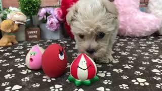 ペットショップ 犬の家 稲毛店 「ハーフ犬」「103915」