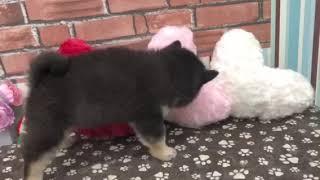 ペットショップ 犬の家 稲毛店 「柴」「103916」