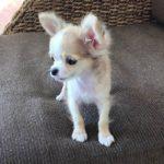 ペットショップ 犬の家 富士店 「チワワ」「103993」