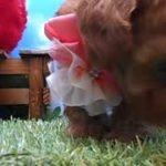 ペットショップ犬の家尼崎店 【104009】【ティーカッププードル】