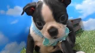 ペットショップ犬の家尼崎店 【104011】【ボストンくん】