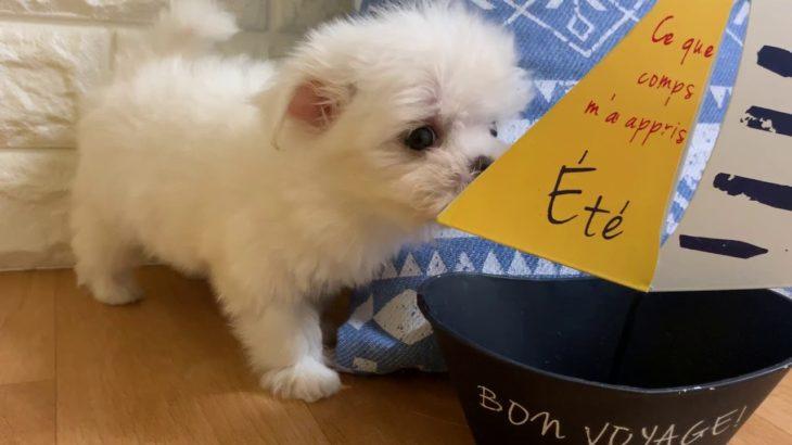 ペットショップ 犬の家 近江八幡店 「マルチーズ」「104025」