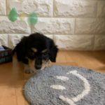 ペットショップ 犬の家 近江八幡店 「ミニチュアダックスフンド」「104028」