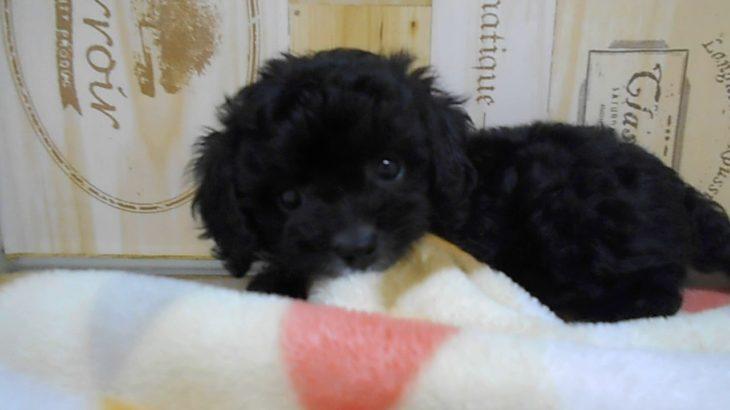 ペットショップ 犬の家 桑名店 「プーキャバ♀」「104050」