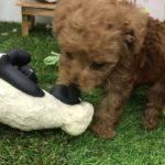 ペットショップ 犬の家 倉敷店 「タイニープードル」「104270」