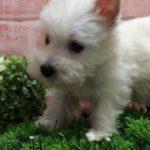 ペットショップ 犬の家 吹田店 「ウェスト・ハイランド・ホワイト・テリア」「104275」