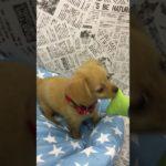 ペットショップ 犬の家 中津川店 「チワックス」「104308」