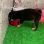 ペットショップ 犬の家 みなと店 「柴」「104413」