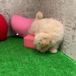 ペットショップ 犬の家 みなと店 「マルプー」「104418」