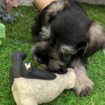 ペットショップ 犬の家 倉敷店 「ミニチュア・シュナウザーちゃん」「ミニチュア・シュナウザー」「104469」