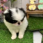 ペットショップ 犬の家 倉敷店 「狆」「104476」